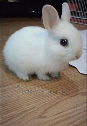 Blue Eye White Vienna Pet Rabbit   Other Animals for sale in Lagos State, Agege