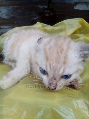 1-3 Month Male Purebred Himalayan   Cats & Kittens for sale in Lagos State, Ajah