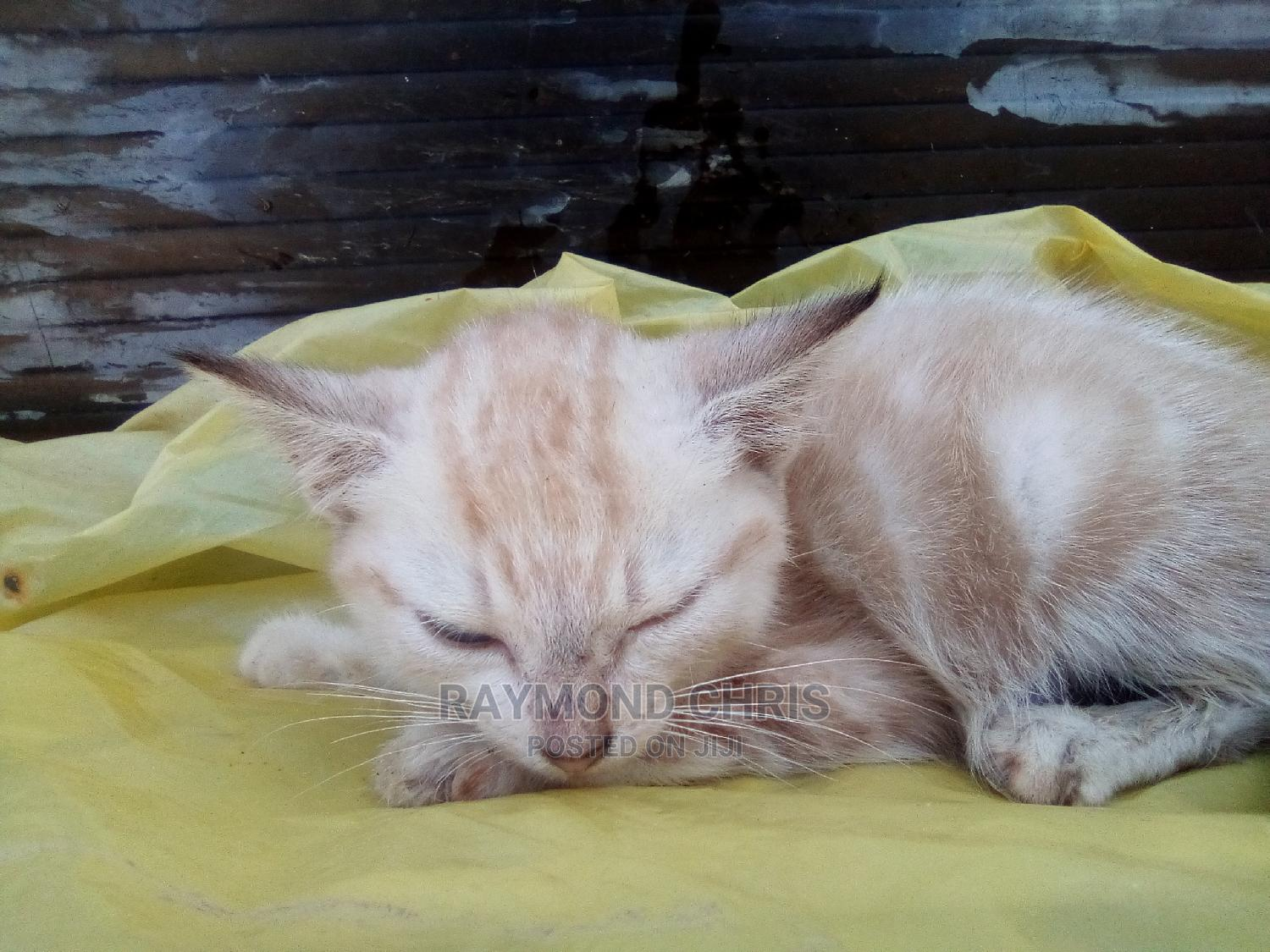 Archive: 1-3 Month Male Purebred Himalayan