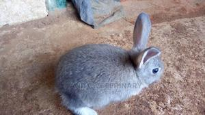 American Chinchilla Pet Exotic Rabbit   Livestock & Poultry for sale in Lagos State, Agege