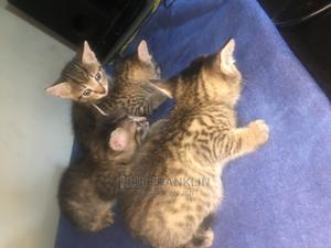 1-3 Month Male Mixed Breed Cat | Cats & Kittens for sale in Enugu State, Uzo-Uwani