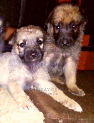 1-3 month Female Purebred German Shepherd | Dogs & Puppies for sale in Edo State, Ikpoba-Okha