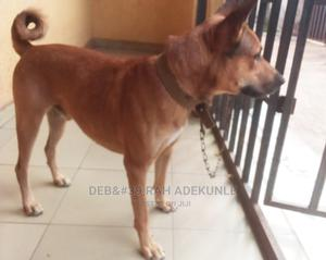 1+ Year Male Mixed Breed German Shepherd | Dogs & Puppies for sale in Edo State, Benin City