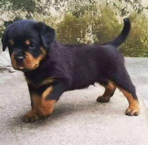 1-3 Month Male Purebred Rottweiler | Dogs & Puppies for sale in Abuja (FCT) State, Asokoro
