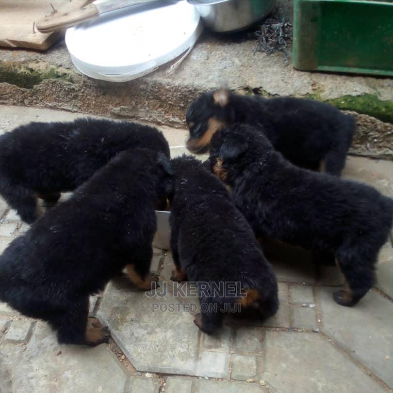 1-3 month Female Purebred Rottweiler