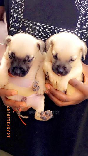 1-3 Month Female Purebred Boerboel | Dogs & Puppies for sale in Ogun State, Ifo