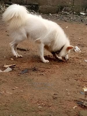 6-12 Month Male Purebred American Eskimo | Dogs & Puppies for sale in Lagos State, Abule Egba