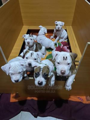 1-3 Month Female Purebred Bulldog | Dogs & Puppies for sale in Lagos State, Maryland
