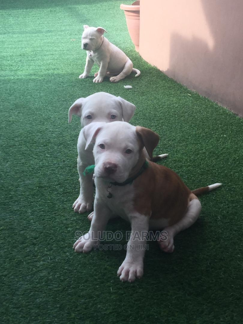 1-3 Month Female Purebred Bulldog | Dogs & Puppies for sale in Maryland, Lagos State, Nigeria