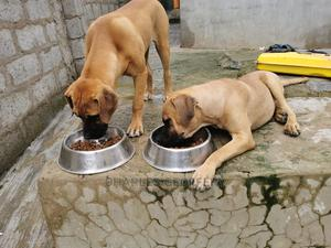 6-12 Month Female Purebred Boerboel | Dogs & Puppies for sale in Abuja (FCT) State, Wuse