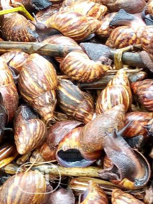 Snails for Sell   Livestock & Poultry for sale in Oyo State, Ibadan