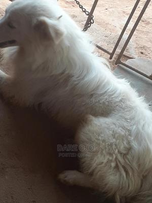 1+ year Male Purebred American Eskimo | Dogs & Puppies for sale in Ogun State, Ifo