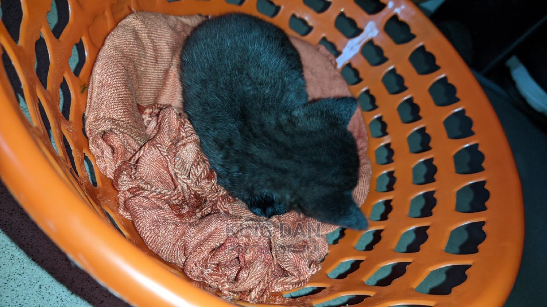 Archive: 0-1 Month Female Purebred Cat