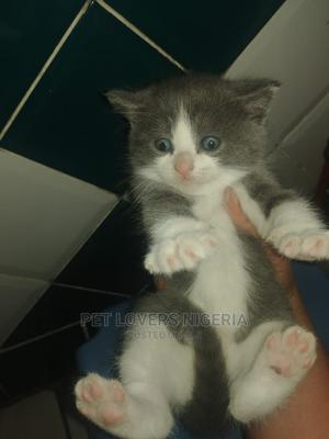 1-3 Month Female Purebred British Shorthair | Cats & Kittens for sale in Lagos State, Ikeja