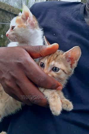 1-3 Month Female Purebred Cat   Cats & Kittens for sale in Lagos State, Surulere