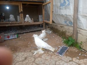 Hungarian Giant Pigeon(Young Adult) Available at Genius_farm | Birds for sale in Plateau State, Jos