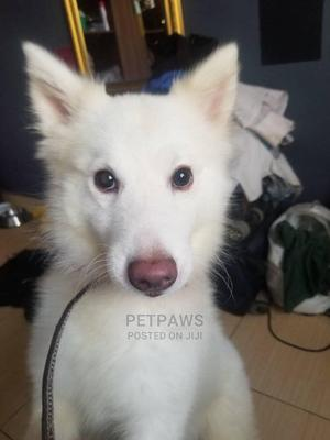 6-12 Month Male Purebred American Eskimo | Dogs & Puppies for sale in Lagos State, Ikorodu