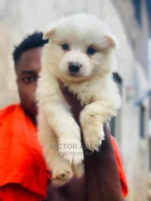 1-3 Month Female Purebred American Eskimo | Dogs & Puppies for sale in Oyo State, Ibadan