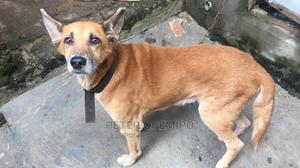 1+ Year Male Mixed Breed German Shepherd | Dogs & Puppies for sale in Lagos State, Abule Egba