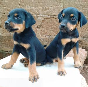 3-6 Month Female Purebred Rottweiler | Dogs & Puppies for sale in Ogun State, Abeokuta South