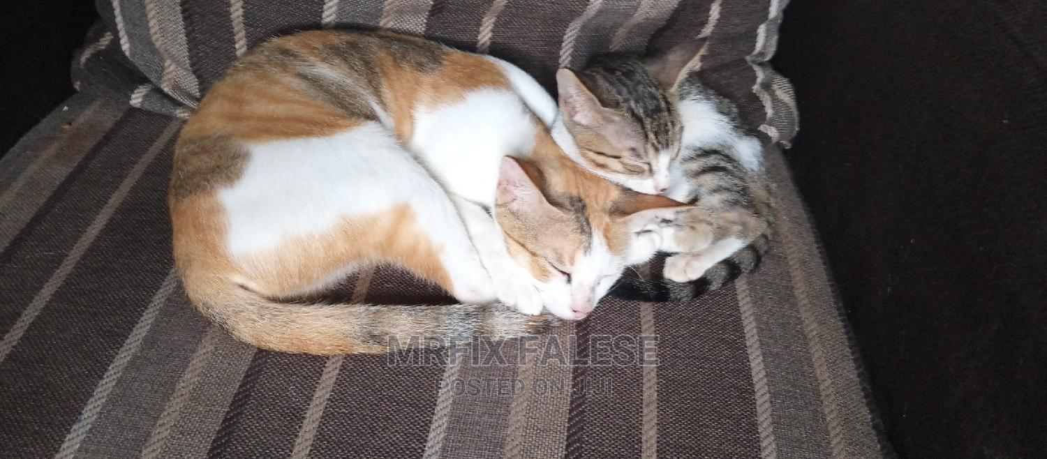 Archive: 1+ Year Female Mixed Breed Cat