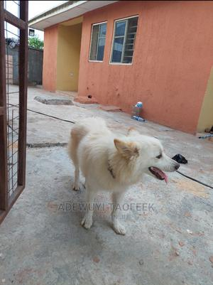 1+ Year Male Purebred American Eskimo | Dogs & Puppies for sale in Kwara State, Ilorin West