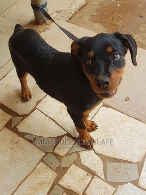6-12 Month Female Purebred Rottweiler | Dogs & Puppies for sale in Ekiti State, Ado Ekiti