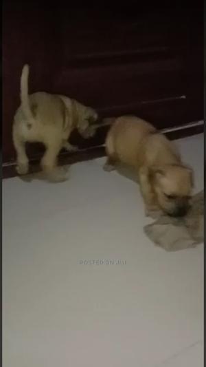 1-3 Month Female Purebred Boerboel   Dogs & Puppies for sale in Ekiti State, Ado Ekiti