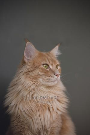 1-3 Month Female Purebred American Curl | Cats & Kittens for sale in Abuja (FCT) State, Kubwa