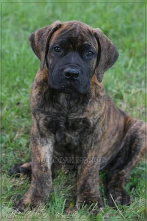 1-3 Month Female Purebred Boerboel | Dogs & Puppies for sale in Cross River State, Calabar