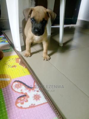 0-1 Month Female Purebred Boerboel | Dogs & Puppies for sale in Ebonyi State, Abakaliki