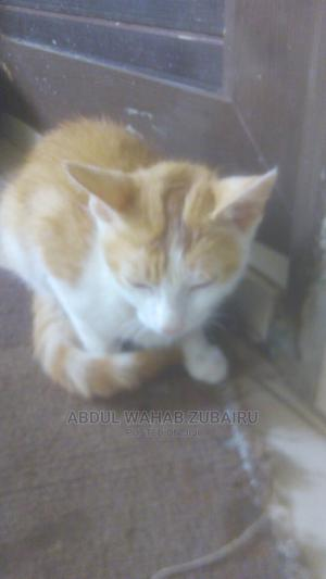 3-6 Month Male Purebred Mongrel (No Breed) | Cats & Kittens for sale in Abuja (FCT) State, Mararaba