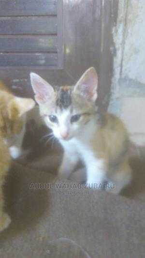 1-3 Month Female Purebred Mongrel (No Breed)   Cats & Kittens for sale in Abuja (FCT) State, Mararaba