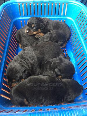 1-3 Month Male Purebred Rottweiler | Dogs & Puppies for sale in Lagos State, Ifako-Ijaiye