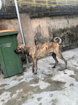 1+ Year Male Purebred Boerboel | Dogs & Puppies for sale in Lagos State, Surulere