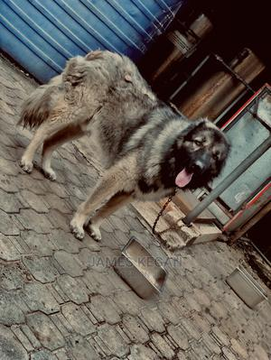 1+ Year Male Purebred Caucasian Shepherd   Dogs & Puppies for sale in Lagos State, Lekki