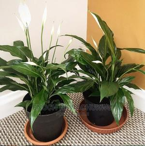 Calla Lily | Landscaping & Gardening Services for sale in Lagos State, Ikeja