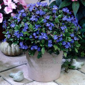 Plumbargo Light Blue | Landscaping & Gardening Services for sale in Lagos State, Ikeja