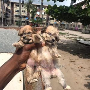 0-1 Month Female Purebred Lhasa Apso | Dogs & Puppies for sale in Lagos State, Amuwo-Odofin