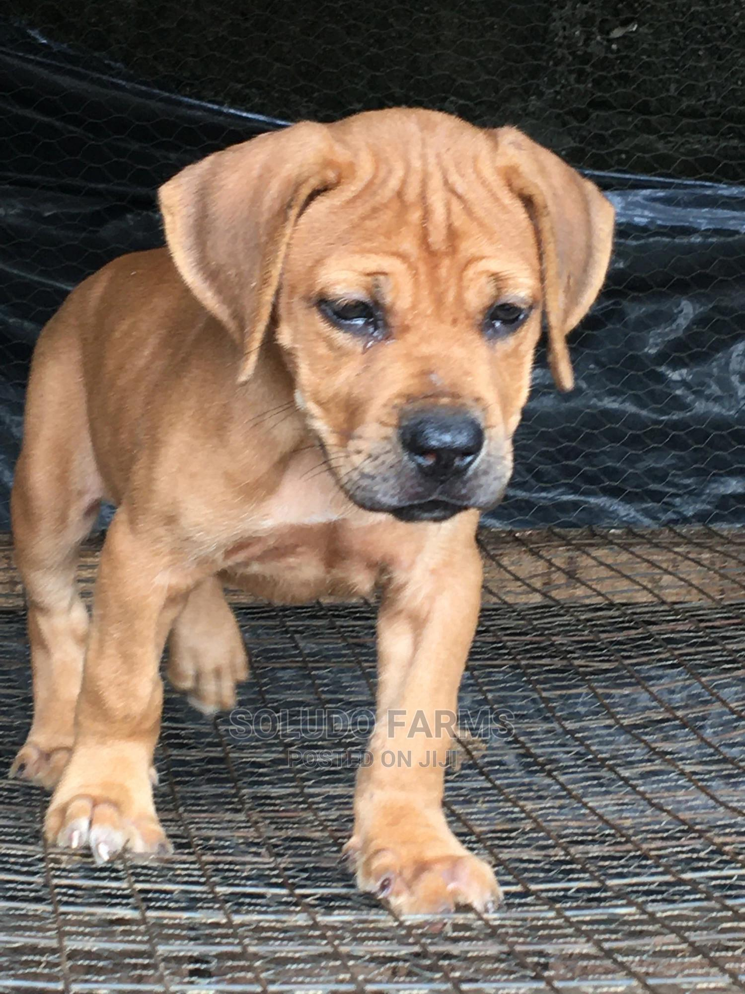 1-3 Month Female Purebred Boerboel | Dogs & Puppies for sale in Maryland, Lagos State, Nigeria