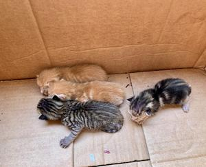 0-1 Month Male Purebred Cat   Cats & Kittens for sale in Lagos State, Ikorodu