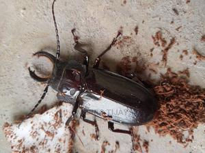 LUCANIDAE(Stag Beetle) | Other Animals for sale in Delta State, Oshimili South