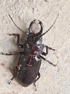 Stag Beetle (Lucanidae) | Other Animals for sale in Delta State, Oshimili South
