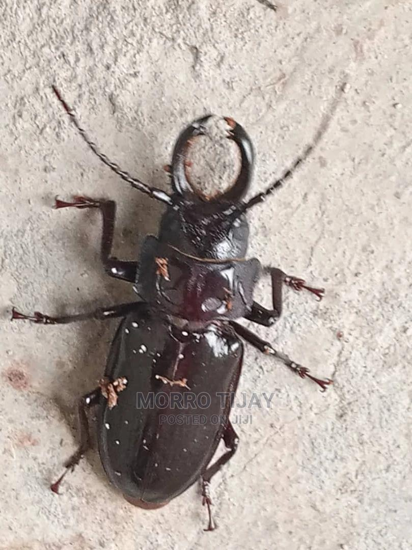 Stag Beetle (Lucanidae)