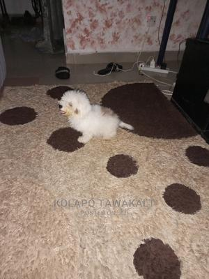 3-6 Month Male Purebred Lhasa Apso | Dogs & Puppies for sale in Abuja (FCT) State, Lugbe District