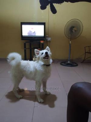 3-6 Month Male Purebred American Eskimo | Dogs & Puppies for sale in Kwara State, Ilorin West
