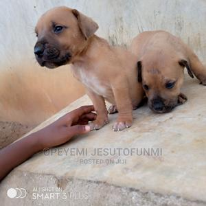 3-6 Month Male Purebred Boerboel | Dogs & Puppies for sale in Lagos State, Ojo