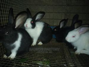 Improved Rabbit Weaners for Sale.   Livestock & Poultry for sale in Oyo State, Ibadan