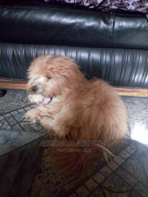 1+ Year Male Purebred Lhasa Apso | Dogs & Puppies for sale in Ogun State, Ifo
