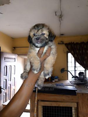1-3 Month Female Purebred Lhasa Apso   Dogs & Puppies for sale in Lagos State, Ejigbo